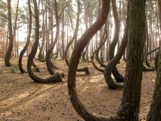 The Crooked Forest, Poland Crooked Forest, Just Beauty, Tree Tops, A Whole New World, Culture Travel, Stunning View, Countries Of The World, Oh The Places You'll Go, Amazing Nature