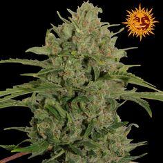 Barneys Farm - Triple Cheese Feminised Cannabis Seeds - Buy Cannabis Seeds Online | Dr Chronic Seeds | London | Essex | UK | The Original Cannabis Seed Emporium | The Worlds Best Marijuana Seeds