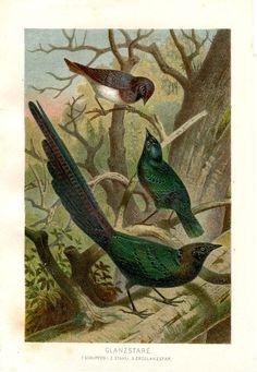 Superb Starling Bird Print Antique by CarambasVintage on Etsy, $16.00