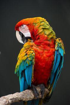 Jungle Animals, Animals And Pets, Cute Animals, Wild Animals, Colorful Animals, Colorful Birds, Beautiful Birds, Animals Beautiful, Macaw Parrot For Sale