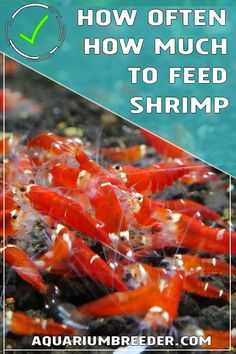 How Often and How Much to Feed Shrimp  Dwarf shrimp, feeding, diet, algae, biofilm, care, maintenance, detritus, treats, feeding dish, tips