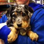 Watson, the Aussie/Golden Retriever.     Owner: Rachael