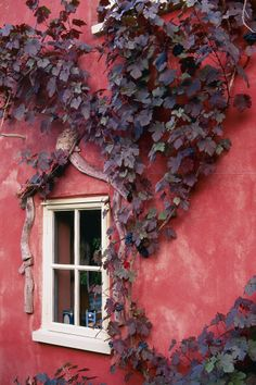 In fall these vines have turned a deep muted purple/aubergine -- a lovely complement and contrast against a rosy pink stuccoed wall. Reminds me of Europe since not too many Americans have become this bold in the use of color, with a few warm weather exceptions.