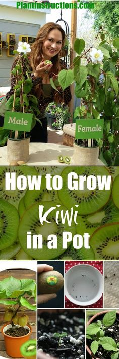 Grow Kiwi in a Pot