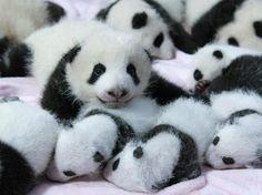 Zoológico chinês apresenta 14 novos filhotes de panda-gigante - Terra Brasil