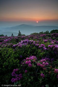 "Roan Mountain, North Carolina Favorite memory with my parents.father loved this special place.""so many flowers, just beautiful, as far as my eye can see"". North Carolina Mountains, North Carolina Homes, South Carolina, Highlands North Carolina, Highlands Nc, Beautiful World, Beautiful Places, Beautiful Pictures, All Nature"