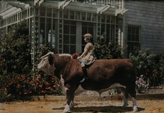 """natgeofound: """"A child sitting on a Hereford bull near Pleasanton, California, 1926. Photograph by Charles Martin, National Geographic Creative """""""