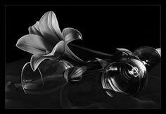 Фотография Черно-белый этюд с лилией из раздела натюрморт 583933 - фото.сайт - Photosight.ru