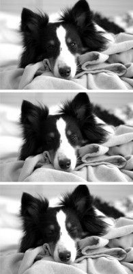 Going...going...gone. Adorable Sheltie falling asleep.