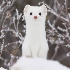 Stefano Unterthiner Meet the ermine, sometimes called the short-tailed weasel or stoat. The animal is called an ermine specifically during the winter when its coat is pure white to match the snow around it. During the spring and summer, its coat turns a reddish brown color. The ermine is regarded by the IUCN to be …