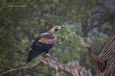 https://flic.kr/p/NJgDKT | Wedge Tail Eagle, Flinders Ranges - South Australia