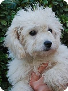 Priscilla's Story...  Hi! My name is Priscilla and my Control Number is I1202280. I am a 10 week old female Poodle mix. I will be available for adoption March 3. I was rescued as a stray and there is no background information on me. If you are interested in adopting me I am in Kennel #7. When making inquiries on me please reference my Control Number I1202280.