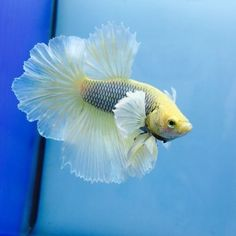 Fancy-Betta-Splendens-HM-Dumbo-WYSIWYG-Tropical-Live-Fish-Siamese-032