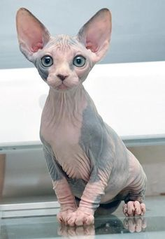 The Sphynx has been bred for its lack of coat, though it's not a truly hairless breed. They have a very thin layer of down fur, and are unique in that their skin color is in the pattern their coats would be if they had one.