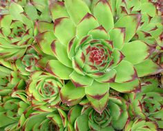 SEMPERVIVUM tectorum / (houseleek) fully hardy evergreen perennial height: 12cm. spread: 20cm. prefers gritty soil rosettes spread by stolons and have a mat forming habit red / purple star shaped flowers are borne on stems summertime green sometimes red fleshy succulent foliage with red tips