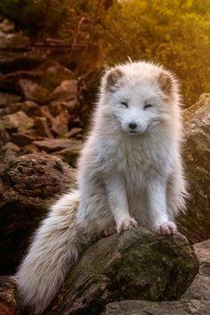 Polar fox during sunset arctic fox Nature Animals, Animals And Pets, Baby Animals, Funny Animals, Cute Animals, Wild Animals, Beautiful Creatures, Animals Beautiful, Fuchs Baby