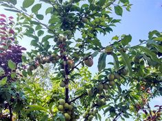 árvore, frutos