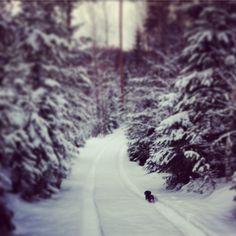 Wirehaired dachshund puppy Urho exploring the Finnish winter forrest.