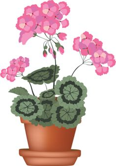 Geranium-in-clay-pot