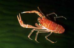 Crustacea, Decapoda