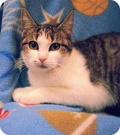 Prattville, AL - Domestic Shorthair. Meet Violet 21769, a kitten for adoption. http://www.adoptapet.com/pet/12179133-prattville-alabama-kitten