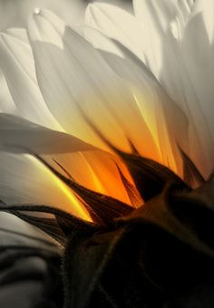 ?? White Sunflower ?? - thoughtinsilence: ☽ spiritual nature and indie ☾ - Colors: White, Orange, Sage Green