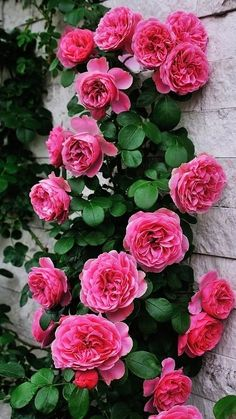 Captivating Why Rose Gardening Is So Addictive Ideas. Stupefying Why Rose Gardening Is So Addictive Ideas. Beautiful Rose Flowers, Beautiful Flowers Wallpapers, Pretty Roses, Flowers Nature, Amazing Flowers, Pretty Flowers, Beautiful Gardens, Amazing Gardens, Pink Roses
