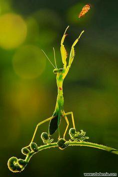 Praying Mantis ~