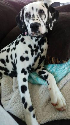 dog care,dog grooming tips,dog ideas,dog nail trimming,dog ear cleaner Positive Dog Training, Dalmatian Dogs, Boxer Dogs, Easiest Dogs To Train, Cute Dogs And Puppies, Doggies, Silly Dogs, Best Dog Training, Dog Behavior