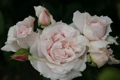 Costanze Mozart rose (Kordes, 2012); I think the US gets Kordes roses one season behind Germany