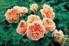 "David Austin® English Roses /      Tea Clipper      The rich apricot 3 1/2"" flowers (petals 100) are particularly wide, informally rosette-shaped and quartered, each having a button eye and a lovely mix of fruity/citrus fragrance. Large bushy repeat blooming shrub with few thorns."