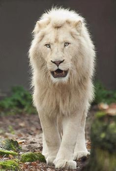 Lion | A-Z List of 125 Rare Albino Animals [Pics]
