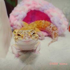 589_tomo とりあえず足としっぽ 嬉しそう #leopardgecko  #ヒョウモントカゲモドキ  #レオパードゲッコー  #爬虫類 #かわいい  #いやし  2017/10/07 19:53:39