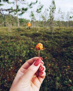 Sisko lähetti terveiset Rovaniemen hillasoilta jokin aika sitten.   #luontokuva #hilla #lakka #suo #nature #hillasblog