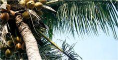 Beneficios de la leche de coco | LIVESTRONG.COM en Español