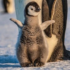Photograph by @paulnicklen for @natgeo // I am not sure if there is any animal quite as cute as a baby Emperor Penguin.  They go from being very shy and timid when their parents are at sea but get a ton of confidence when their nearly four foot tall eighty pound parents are towering over them.  To see a picture of the parents rocketing underwater #followme on @paulnicklen. by natgeo