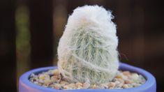 """Espostoa melanostele """"Peruvian Old Lady Cactus"""""""