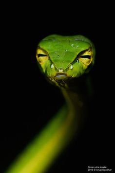 Green vine snake by Anup Deodhar on 500px