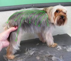 Pet Grooming: The Good, The Bad, & The Furry: Scissoring a Yorkie. I really need to learn how to do this myself. Poor doggies are lookin rough Grooming Yorkies, Dog Grooming Styles, Dog Grooming Salons, Dog Grooming Tips, Yorkie Cuts, Yorkie Hairstyles, Puppy Cut, Dog Haircuts, Yorky