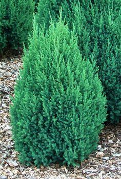 "Enebær - Juniperus Chinensis ""Stricta"""