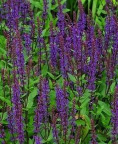 Salvia - Ground Covers - With their hummingbird-attracting flowers, Salvia is a beautiful groundcover that appreciates full sun and a dry climate