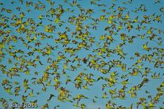 Budgies flying in the Outback