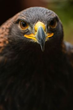 female Golden Eagle