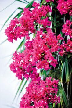 Vivid bougainvillea blooms on Arborek Island