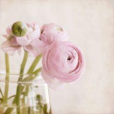 lovely pink ranunculos