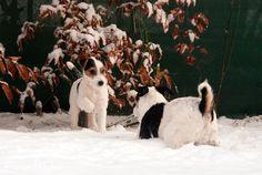 Parson Russell Terrier Stormy Wight´s Brenda und SW Dr. Jones im Januar 2015