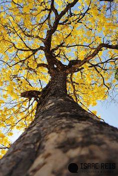 Tree-Ipê Amarelo