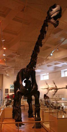 Reconstition Cetiosaurus