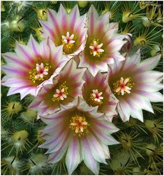 Flower-Detail of Turbinicarpus ysabellae - Flickr - Photo Sharing!