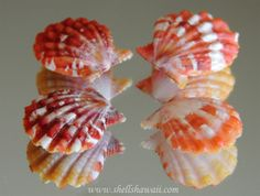 Hawaiian Sunrise shells. This collection is natural pairs.
